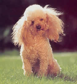 http://babydogs.free.fr/images/photoschiens/caniche.jpg